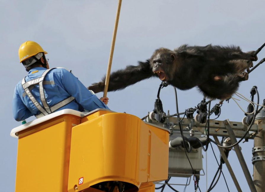 Chimpanzee Screams on Power Line